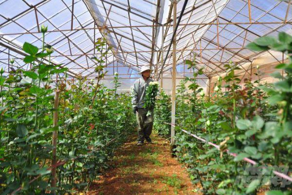 Hoa hồng Langbiang 'đắt như tôm tươi' dịp Quốc tế Phụ nữ